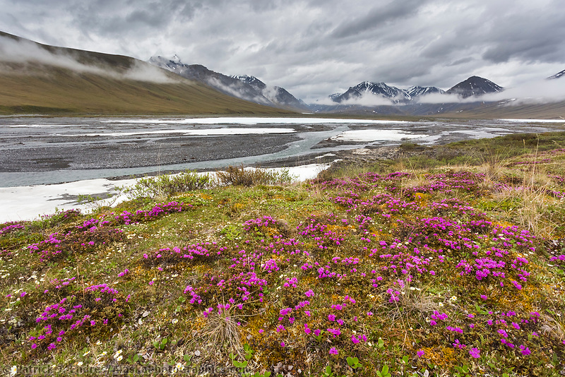 Lapland rosebay on the tundra along the Ivishak river in the Arctic National Wildlife Refuge, Brooks Range, Arctic Alaska.