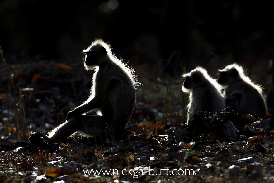 Hanuman or Common Langur (Semnopithecus entellus) basking in morning sunshire. Bandhavgarh National Park, Madhya Pradesh, India.