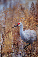 512666248 a wild sandhill crane grus canadensis wanders through a shallow pond overgrown with very tall dead grasses in bosque del apache national wildlife refuge in new mexico