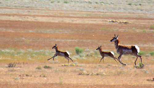 A femal pronghorn and its two fawns,the fastest land mammal in North America,race across the prairie at Yellowstone National Park, Montana.