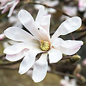 Magnolia stellata 'Jane Platt', late March.