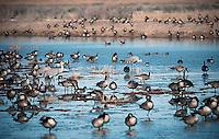 March 11, 2016 - Monte Vista, Colorado, U.S. - Sandhill Cranes and Canadian Geese share the resources of Southern Colorado's Monte Vista National Wildlife Refuge.<br /> <br /> Each year more than 20,000 Sandhill Cranes migrate through the wetlands of the San Luis Valley's Monte Vista National Wildlife Refuge, Monte Vista, Colorado.  The Rocky Mountain population of the Greater Sand Hill Cranes spends more time in the San Luis Valley than at either of their wintering or breeding grounds.  The peak springtime migration is mid-March.