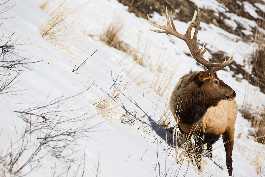 A bull elk grazes while looking out of frame on a snow-covered hillside in Yellowstone National Park, Wyoming.