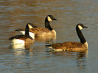 Group of adult Canada geese, probably lesser subspecies