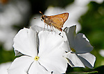 This small skipper, just over 1 inch long, is orange and brown and is sitting on the top of a white impatient in a garden in North Carolina.. Probiscus is prominent.
