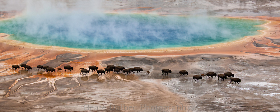 Bisons at Grand Prismatic, Yellowstone National Park