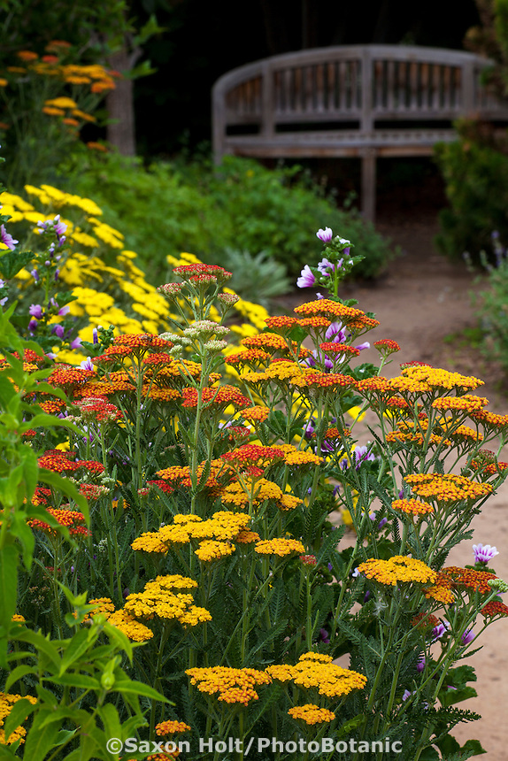 Flowering perennials Yarrow (Achilllea) along dirt path with bench in the butterfly Pollinator Garden at Rio Grande Botanic Garden