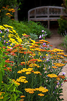 Flowering perennials Yarrow (Achilllea) along dirt path with bench in the butterfly Pollinator Garden at Rio Grande Botanic Garden