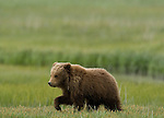 A brown bear cub enjoys a warm summer day in a coastal meadow in Lake Clark National Park, Alaska, June 24, 2008.  This is the cub's second summer; he will likely spend one more year with his mother.  Photo by Gus Curtis.