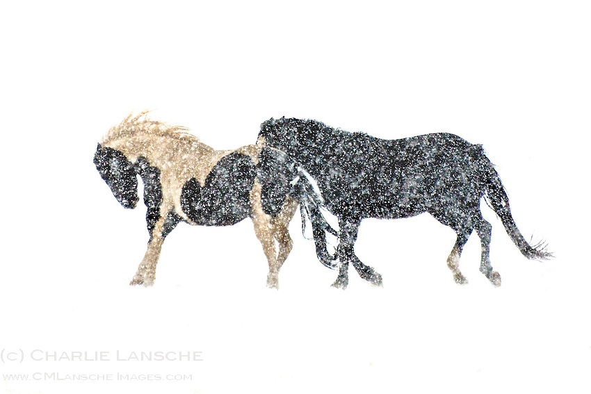 High wind and heavy January snow sets the stage for a long, cold winter for these two high country horses. Summit County, Utah.