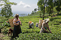 India – West Bengal: Tea pluckers collecting leaves at Makaibari Tea Estates, in the Darjeeling region. Although Darjeeling tea is one of the most expensive in the world, with almost all its production going abroad, the tea workers' living conditions here are only marginally better than in Terai and Dooars.