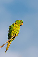 566700069 a wild green parakeet aratinga holochlora perched in a tree in laredo webb county texas united states