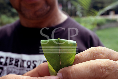 Manaus, Amazon, Brazil. Leaf of a medicinal plant, one drop on it for healing.