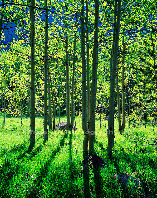 """Aspens, Maroon Canyon   COLORADO"""