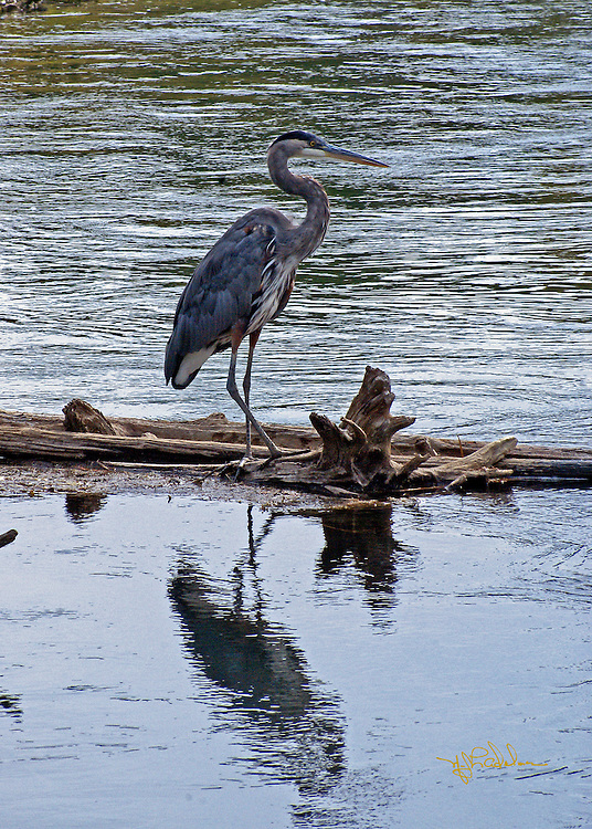 Great Blue Heron adult standing on fallen tree branch with a water background and the reflection of the heron in the foreground.
