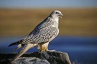 Gyrfalcon  or gerfalcon (Falco rusticolus)