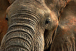 About 1,500 African Elephants live in the very remote Kidepo Valley National park in northeastern Uganda. Tourists only reach the park by chartered excursions. April 12, 2004 (Rick D'Elia)<br />