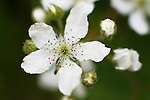 Northern Dewberry, Rufus flagellaris