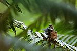 Malaysian Pied Fantail (Rhipidura javanica) on nest, Tawau Hills Park, Sabah, Borneo, Malaysia