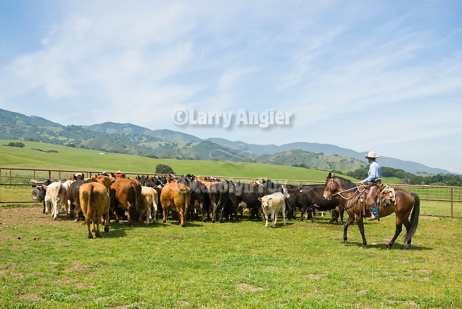 Jim and his son Scott Violini working their cattle on the eastern foothills of the Sierra de Salinas.
