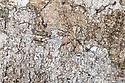 Long-spinnered Bark Spider {Hersiliidae sp} camouflaged on tree bark where it waits to ambush passing prey. Tropical rainforest, Masoala Peninsula National Park, north east Madagascar.
