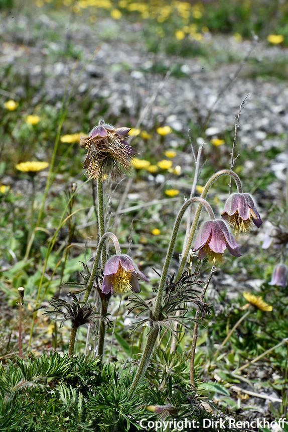 K&uuml;chenschelle (Pulsatilla)  am Strand bei N&auml;rsholmen auf der Insel Gotland, Schweden, Europa<br /> pasque flower (Pulsatilla), beach of N&auml;rsholmen, Isle of Gotland, Sweden