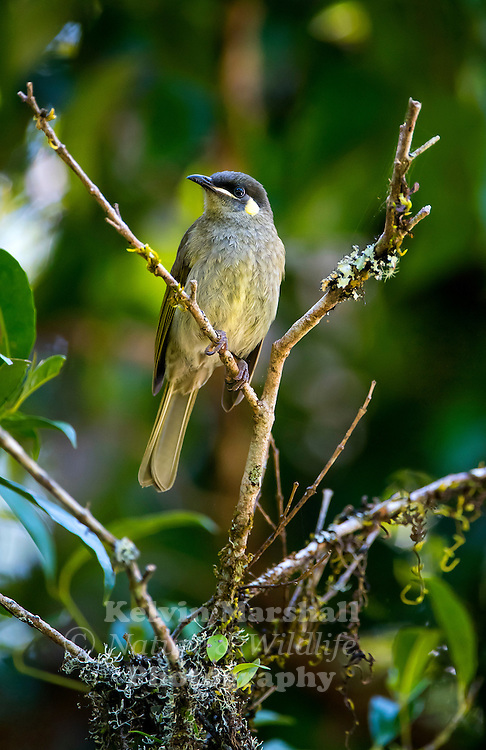Lewin's honeyeater (Meliphaga lewinii) is a bird that inhabits the ranges along the east coast of Australia. It has a semicircular ear patch, pale yellow in colour. The name of this bird commemorates the Australian artist John Lewin. Mt Hypipamee Crater, Far - North Queensland.