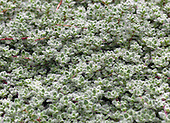 Garden-PENNSBURG-HOM-REPORTER-ANNE RAVER-A close-up of wooly thyme, which grows in Nancy Ondra's garden in Pennsburg, Pa., on Wednesday July 23, 2008. Jane Therese For The New York Times