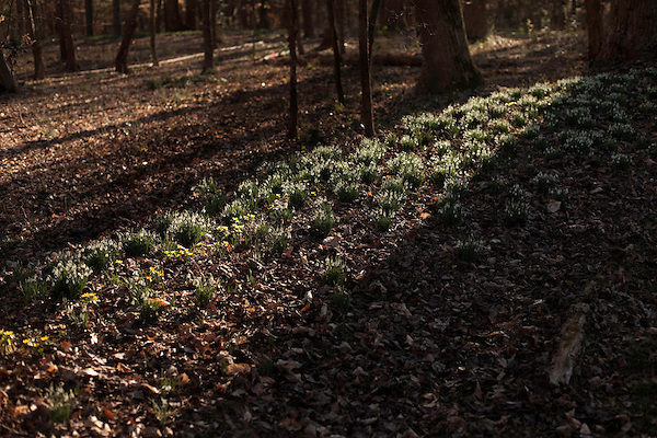 February 2, 2012. Hillsborough, NC.. Suns streaks over the flowering snow drops that permeate the woods around the Goodwin home..  Nancy Goodwin, who used to run a mail order nursery for rare bulbs, has now preserved her gardens, which in winter, have thousands of blooming flowers and plants, including many rare species which she has cultivated and planted from seeds.
