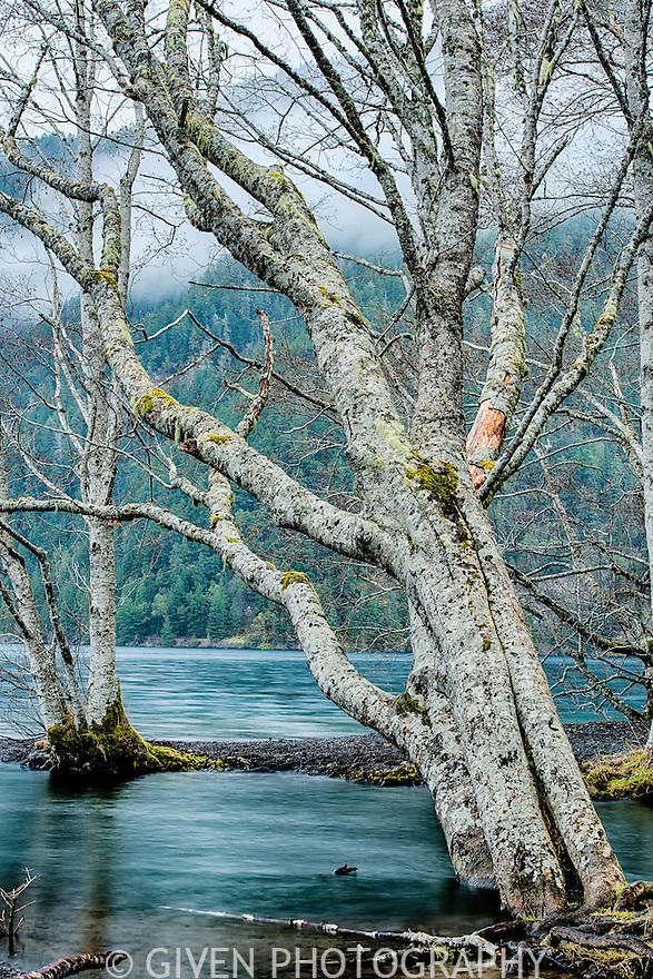 Red Alders, Olympic National Park, Washington