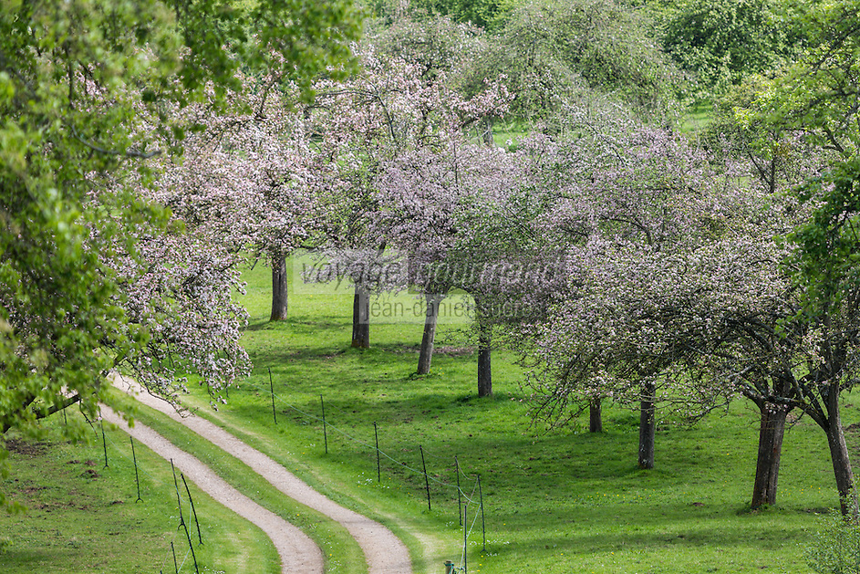 France, Calvados (14), Pays d' Auge, Env de Cambremer:  verger de pommiers en fleurs // France, Calvados, Pays d' Auge, near Cambremer: apple orchard in bloom