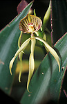 Black Orchid, Belize, National Flower, Prosthechea cochleata, formerly known as Encyclia cochleata, Anacheilium cochleatum, and Epidendrum cochleatum is an epiphytic, sympodial New World orchid native to Central America, the West Indies, Colombia, Venezuela, and southern Florida