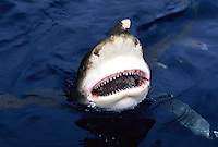Oceanic whitetip shark, Carcharhinus longimanus, biting at the surface with it's mouth open. Hawaii.
