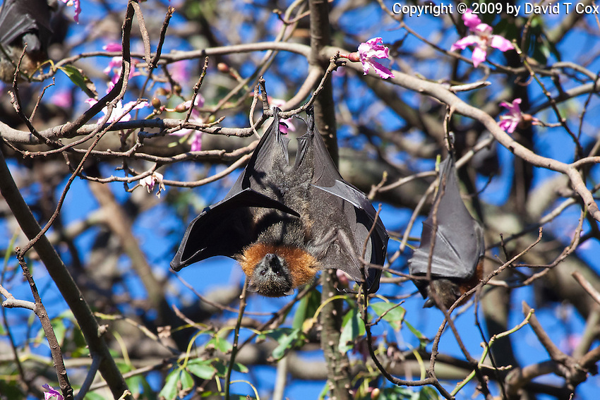 Grey-Headed Flying Fox, Botanical Gardens, Sydney