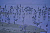Sandhill Cranes stir and start to leave the sand bars in early pre-dawn llight on the Platte River, from Audubon's Rowe Nature Sanctuary, Buffalo County, Nebraska