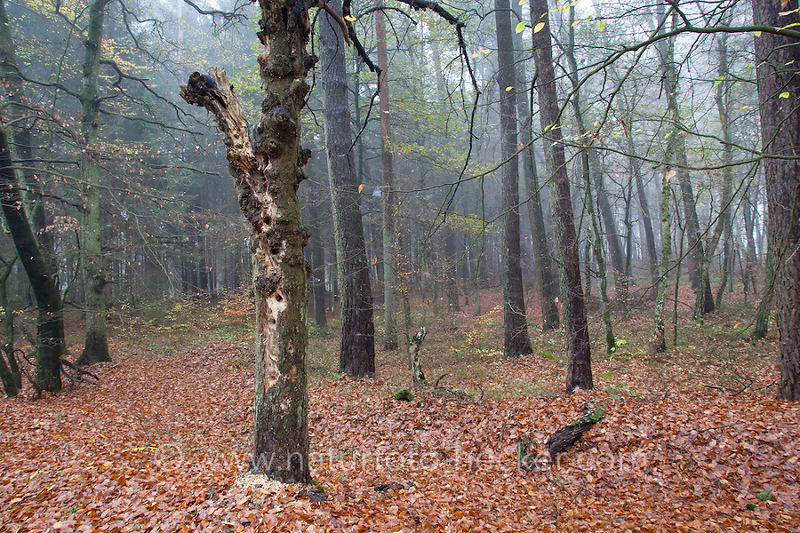 Spechtbaum, Specht hat in einem morschen Baumstamm viele Löcher zur Nahrungssuche gehackt, Spechte. Woodpecker tree, woodpecker has hacked many holes to the food search in a rotten trunk. Woodpecksers
