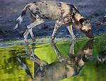 African wild dog (Lycaon pictus) drinking at water hole, Moremi Game Reserve, Okavango Delta, Botswana