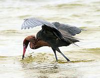 Adult reddish egret in breeding plumage striking at fish