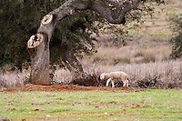 Oak trees in a field. Lamb grazing in a field outside the winery. Henrque HM Uva, Herdade da Mingorra, Alentejo, Portugal