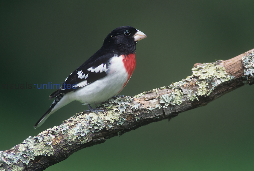 Male Rose-breasted Grosbeak in breeding plumage ,Pheucticus ludovicianus,. Eastern USA.