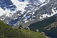 Mountain Goats (Oreamnos americanus).  Northern Rockies.  June.