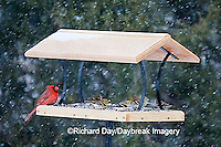 00585-036.18 Northern Cardinal, male, American Goldfinches (Carduelis tristis) on platform tray feeder, Marion Co. IL