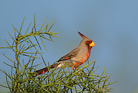 573900059 a wild male pyrrhuloxia cardinalis sinatus perches in a thornbush on dos venados ranch starr county texas united states