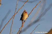 "0106-1002  Northern Cardinal ""Female"" in Winter, Cardinalis cardinalis  © David Kuhn/Dwight Kuhn Photography"