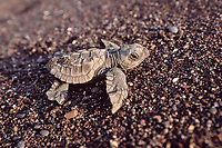 olive ridley sea turtle hatchling, Lepidochelys olivacea, Costa Rica, East Pacific Ocean