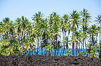 A grove of palm trees at sunny Keawaiki Bay, north of Kona, Hawai'i Island; this area was covered by a 1859 eruption from Mauna Loa and was the site of a heiau (Hawaiian temple) and ancient Hawaiian settlement.