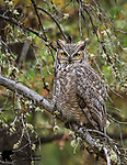 Great horned owl. Grand Teton National Park, Wyoming.