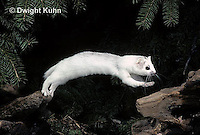 MA07-005x  Short-Tailed Weasel - ermine jumping and leaping late winter after snow melt - Mustela erminea