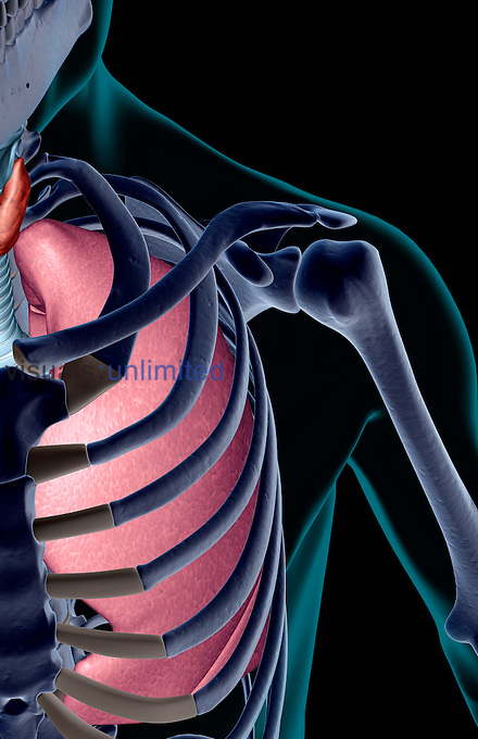 A superior anterior view of the left lung relative to the skeleton. The surface anatomy of the body is transparent and tinted turquoise. Royalty Free