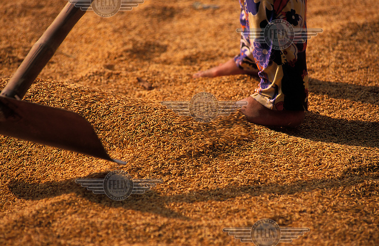 Rice farmer spreading newly harvested grains to dry in the sun. Rice is the single most important crop in Vietnam involving 70 percent of the working population.